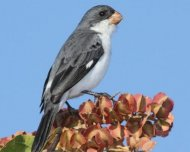 White-bellied Seedeater male