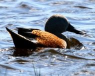 Red Shoveler male