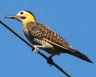 Campo Flicker (Field Flicker)