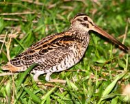 Giant Snipe