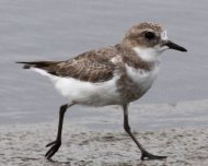 Two-banded Plover juvenile