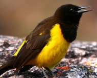 Yellow-rumped Marshbird