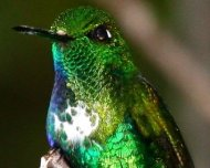An adult male Emerald-bellied Puffleg
