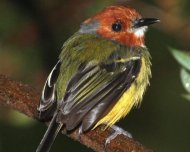 The recently described Johnson's Tody-Tyrant (endemic)