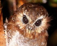 The mythical Long-whiskered Owlet (endemic)