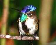 Marvelous Spatuletail (endemic)