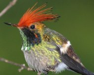 Rufous-crested Coquette male