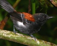 Black-hooded Antwren (endemic)