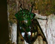 Cicada from Orellana genus.