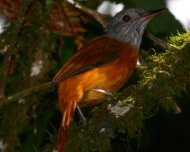 Gray-hooded Attila (endemic)