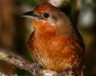 Orange-breasted Thornbird