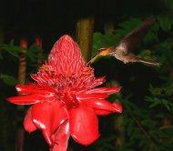 Saw-billed Hermit (endemic) feeding