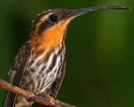 Saw-billed Hermit (endemic)
