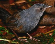 Slaty Bristlefront (endemic and Near Threatened in IUCN Red List)