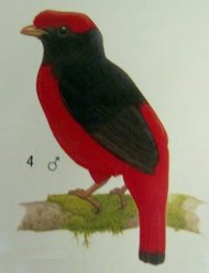 Black-necked+Red-Cotinga