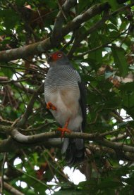 A+NEW+SPECIES+OF+FOREST-FALCON