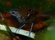 Gray-bellied+Antbird+%28Orinoco-Negro+White-sand+Forest+Endemic+Bird+Area%29