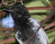 Black Antshrike male