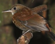 Gray-throated Leaftosser