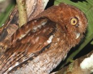 Santa Marta Screech-Owl (Megascops sp. novum, endemic)
