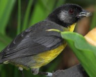 Santa Marta Brush-Finch (endemic)