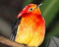 Band-tailed Manakin male