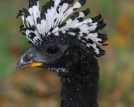 Bare-faced Curassow female