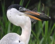 Cocoi Heron with armoured catfish