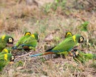 Flock of Yellow-collared Macaws