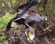 Great Black-Hawk carrying a Piranha