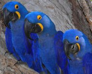 Hyacinth Macaw family in nesting cavity