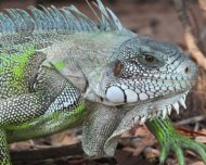 Green Iguana adult freshly molted