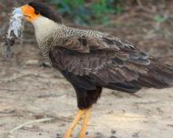 Southern Caracara feeding on a mouse