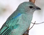 Azure-shouldered Tanager (endemic)