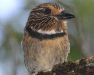 Crescent-chested Puffbird (endemic)