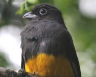 Green-backed Trogon female