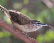 Long-billed Wren (endemic)