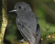 Plumbeous Antvireo male (endemic and Vulnerable in IUCN Red List)