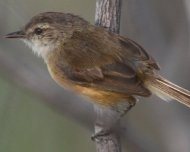 Rufous-sided Pygmy-Tyrant (Near Threatened in IUCN Red List)