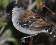 Silvery-cheeked Antshrike male (endemic)
