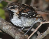 Stripe-backed Antbird male