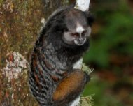 Wied's Black-tufted-ear Marmoset (endemic)