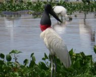 Jabiru close up