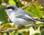 Masked Gnatcatcher male