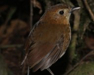 Brown-banded Antpitta (endemic)