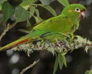 Golden-plumed Parakeet
