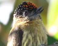 Olivaceous Piculet male