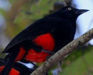 Red-bellied Grackle (endemic)