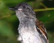 Blackish-gray Antshrike