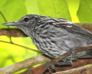 Klages's Antwren male (endemic)